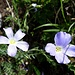 auch heute erfreuen uns diese feinen Blumen
