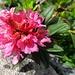 Alpenrose - im Grossformat