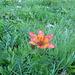 Eine Feuerlilie am Wegrand