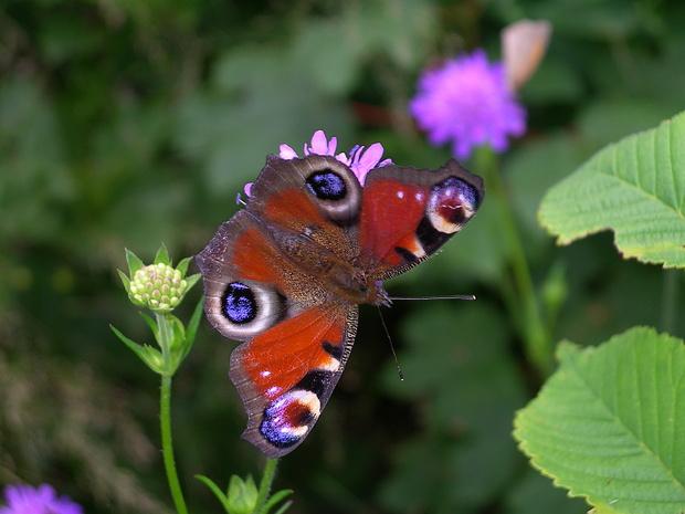 Tagpfauenauge (Inachis io). Von diesem schönen Schmetterling hatte es am Lägerengrat viele.