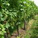 In den Weinbergen unterhalb Regensberg reifen die Trauben