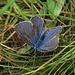 Armer, zerrupfter Bläuling. Fliegen konnte er noch gut! /  Povera farfalla arruffata (Lycaenidae). Ma poteva ancora ben volare!