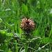 Gestutztes Läusekraut (Pedicularis recutita)