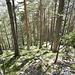 Der steile Abstieg führt durch lichten Bergwald.