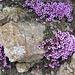 an den nordseitigen Felsen verbreitet zu sichten ...