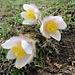 Hunderte dieser fantastischen Alpenblumen ...