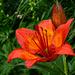 Leuchtend rot: Feuerlilie