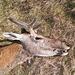 Il cervo caduto