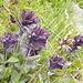 La Bartsia alpina: pelosa per imprigionare le goccioline d'acqua e di nebbia altrimenti disperse dal vento