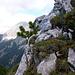 ... die Alpenblume ist auch hier anzutreffen