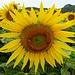 Wunderschöne Sonnenblumen II