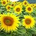 Wunderschöne Sonnenblumen III