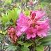 Die Alpenrosen blühen gerade