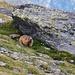 ein Bär von Murmeltier
