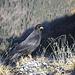 Die ständigen und schönen Begleiter im Gebirge: Die [http://de.wikipedia.org/wiki/Alpendohle Alpendohle (Pyrrhocorax graculus)]