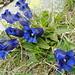 Immer wieder schön: Enzian (Gentiana acaulis)