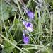 <b>Pinguicula vulgaris.<br />L'erba e i fiori del pascolo sono zuppi di rugiada.</b>