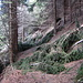 Molti rami sul sentiero tra l'Alpe di Sassello e la Forcola