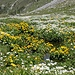 <b>Grandiosa fioritura di Caltha palustris e Cardamine amara.</b>