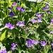 <b>Geranio silvano (Geranium sylvaticum).</b>
