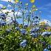 Vergissmeinnicht und andere bunte Blumen