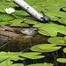 Cistudes... des tortues endémiques