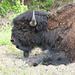Ob der alte Büffel im Halbschlaf auch gelbe Blumen isst?