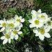 der weglose Aufstieg zum Fulen führt durch traumhafte Blumenwiesen -<br />man traut sich kaum aufzutreten, weil man damit viel Blümlis zertritt