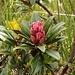 """Rododendro""""fiore"""""""
