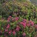 Rododendri fioriti.