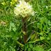 Straussblütige Glockenblume (Campanula thyrsoides)
