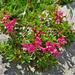 Bewimperte Alpenrose, Steinröseli (Rhododendron hirsutum)