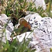 bunter Schmetterling - versteckt hinter Gipfelgras