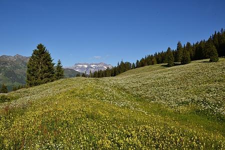 Blumenwiesen bei Weiden mit Glärnisch im Hintergrund.