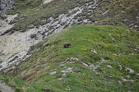 Murmeltier auf dem Gipsgrat.