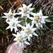 Les édelweiss. Nous avons du faire très attention pour ne pas marcher sur une de ces fleurs rares qui poussent un peu partout sur la crête du Piz Curtinatsch (photo de [u anna])