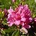 Rostblättrige Alpenrose