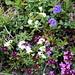 Les fleurs à proximité d'Alp Sarsura Dadaint II