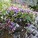 Les fleurs à proximité d'Alp Sarsura Dadaint