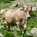 Idealvorstellung für Kuh