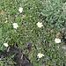 <b>Camedrio alpino (Dryas octopetala).</b>