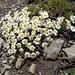 regelmässig bereichern Alpenblumen unseren Weg
