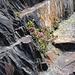 inmitten der wuchtigen Felsen wächst ein kleiner Busch Alpenrosen