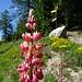 wir treffen auf den vormittäglichen Aufstiegsweg; und auf eine reiche Auswahl dieser (wohl ausgewilderten) dekorativen Lupinen ...