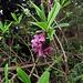 Seibelbast, eine giftige Pflanze