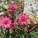 hübsche Hauswurz-Blüten