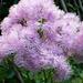 Val d'Agro - wie ein Hochzeitsschleier: Blühende Wiesenraute