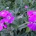 La Dyure ist reich gesegnet mit Alpenflora ... (selten, v.a. in ausgewählten Regionen des Wallis auftretend)