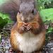Eichhörnchen mit einem Haselnüsschen