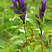 Schwalbenwurz-Enzian (Gentiana asclepiadea)